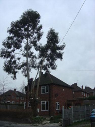 eucalyptus-removal-3-case-study-arbex-tree-surgeons