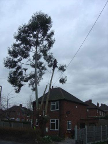eucalyptus-removal-4-case-study-arbex-tree-surgeons