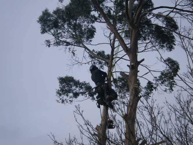 eucalyptus-removal-5-case-study-arbex-tree-surgeons