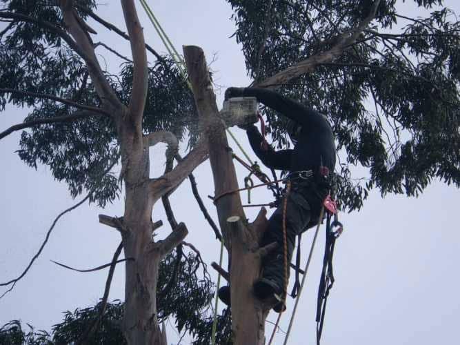 eucalyptus-removal-6-case-study-arbex-tree-surgeons