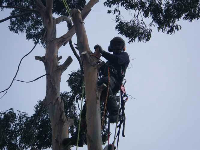 eucalyptus-removal-7-case-study-arbex-tree-surgeons