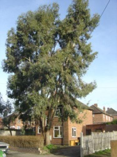eucalyptus-removal-case-study-arbex-tree-surgeons
