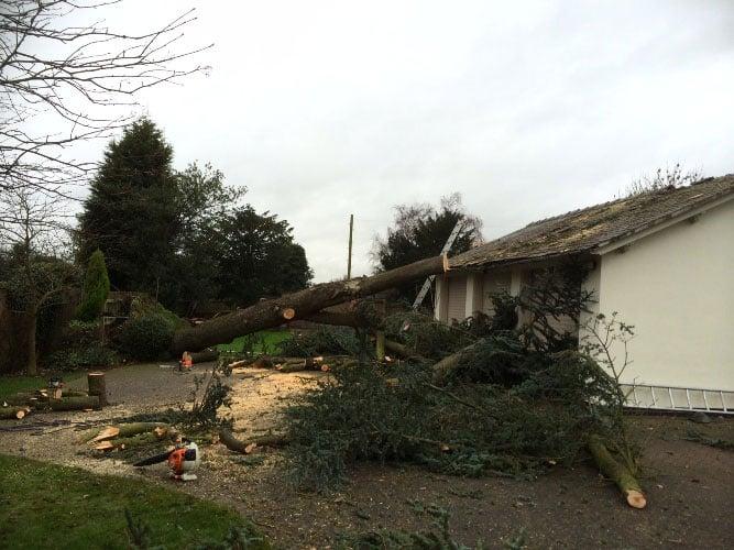 fallen-cedar-tree-removal-3-case-study-arbex-tree-surgeons