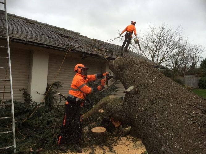 fallen-cedar-tree-removal-4-case-study-arbex-tree-surgeons