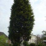 fir-tree-removal-case-study-arbex-tree-surgeons